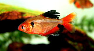 Gambar Ikan hias Red Phantom Tetra