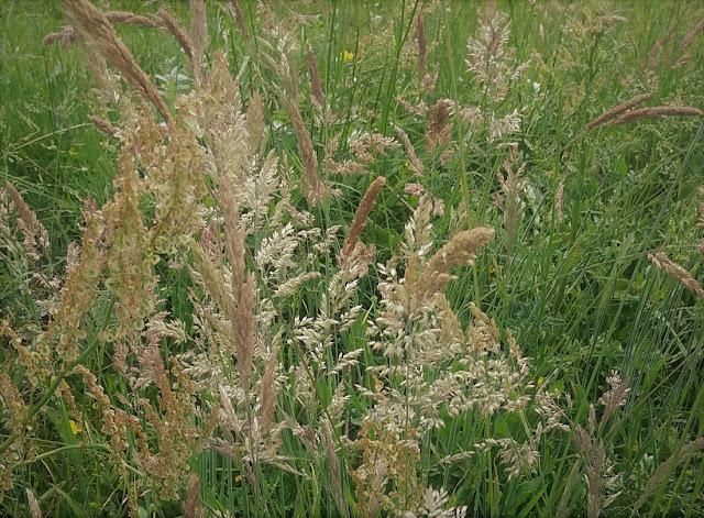 Alergia na trawy - jak żyć?
