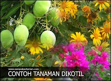 Contoh tanaman Dikotil atau Dicotyledoneae (Tanaman Pertanian, Perkebunan dan tanaman Hias atau Rempah)