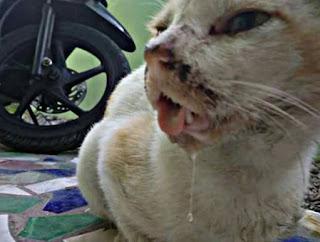 Mulut Kucing Berlendir dan Bau