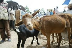 Picture of a Goat in Nigeria