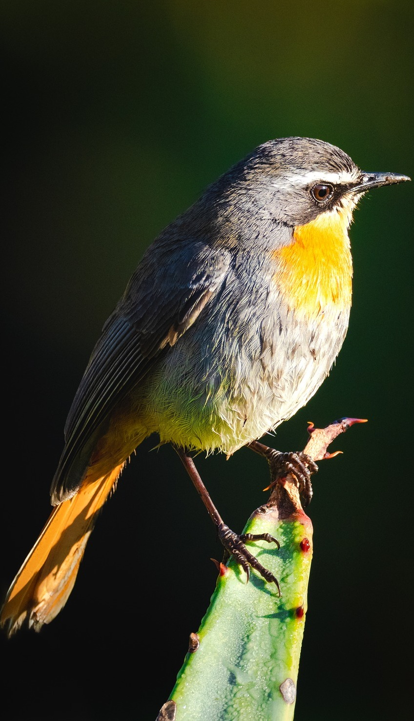 Picture of a cape robin chat.