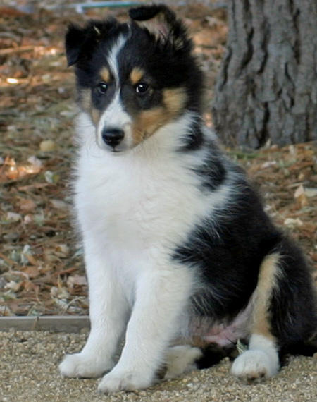 Cute Puppy Dogs Shetland Sheepdog Puppies