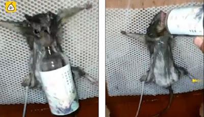 Usai Dicekoki Minuman Keras, Tikus Pencuri Roti Dibakar