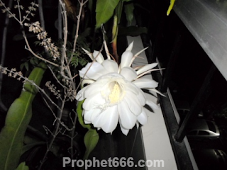 Bethlehem Lily in Vastu Shastra and Feng Shui