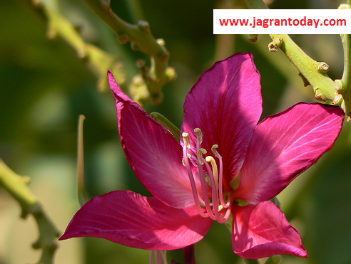 Kachnaar Bauhinia as Beneficial as Nectar