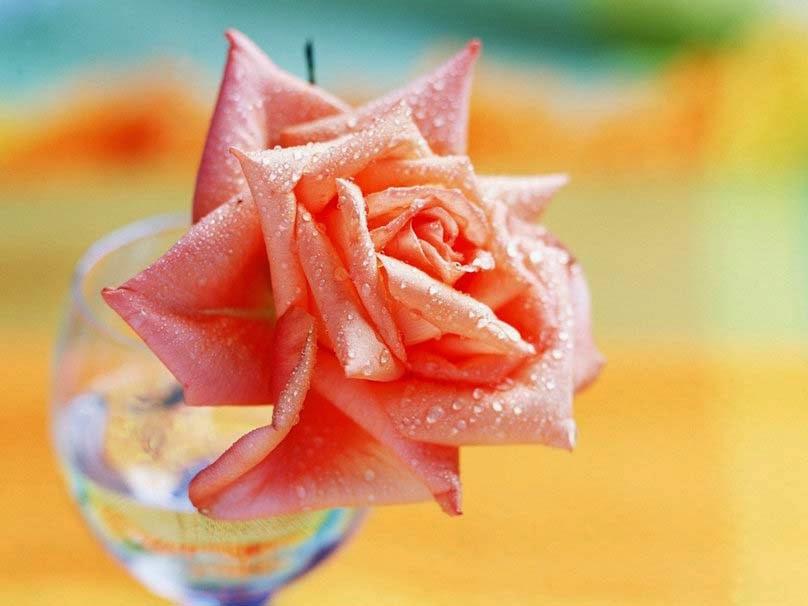 rose-petals-drops-dew-color-picture