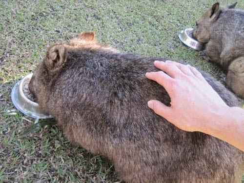 Pat a wombat.