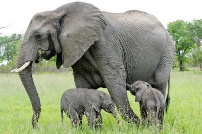 Hasil gambar untuk gajah