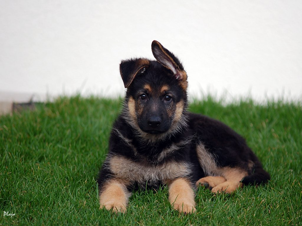 German Shepherd Wallpapers | Fun Animals Wiki, Videos ...