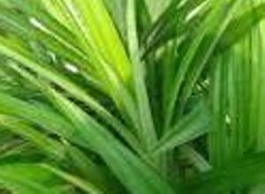 mengatasi problem ketombe dgn daun pandan Ramuan Alami Untuk Membersihkan Kulit Kepala Dan Ketombe Dengan Daun Pandan
