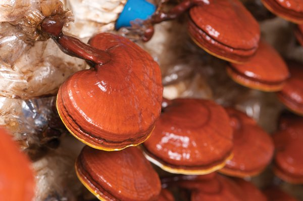 quá trình thu hoạch nấm linh chi