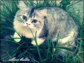 35 jenis kucing peliharaan terpopuler yang lucu dan Madura fashion and lifestyle wiki