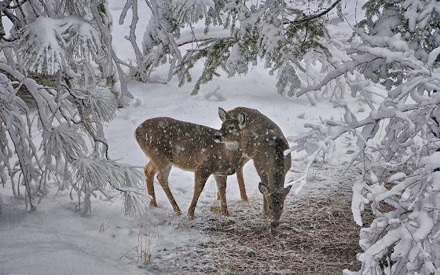 Twee herten op zoek naar voedsel in de sneeuw