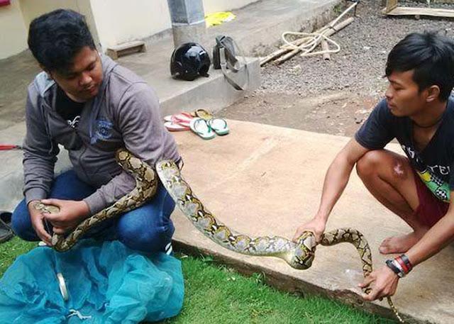 ilustrasi warga tangkap ular