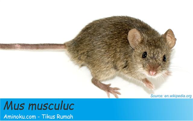 Fakta unik tikus rumah