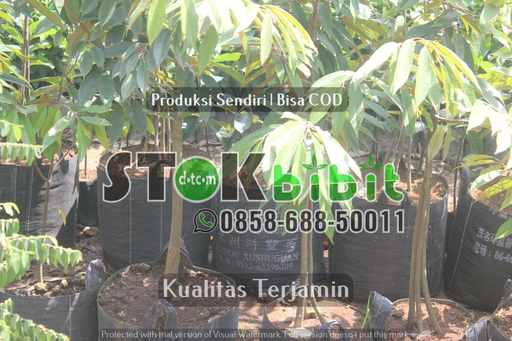 Durian Bawor | Jual Bibit Durian Bawor | Bhineka Bawor      Unggul     berkualitas