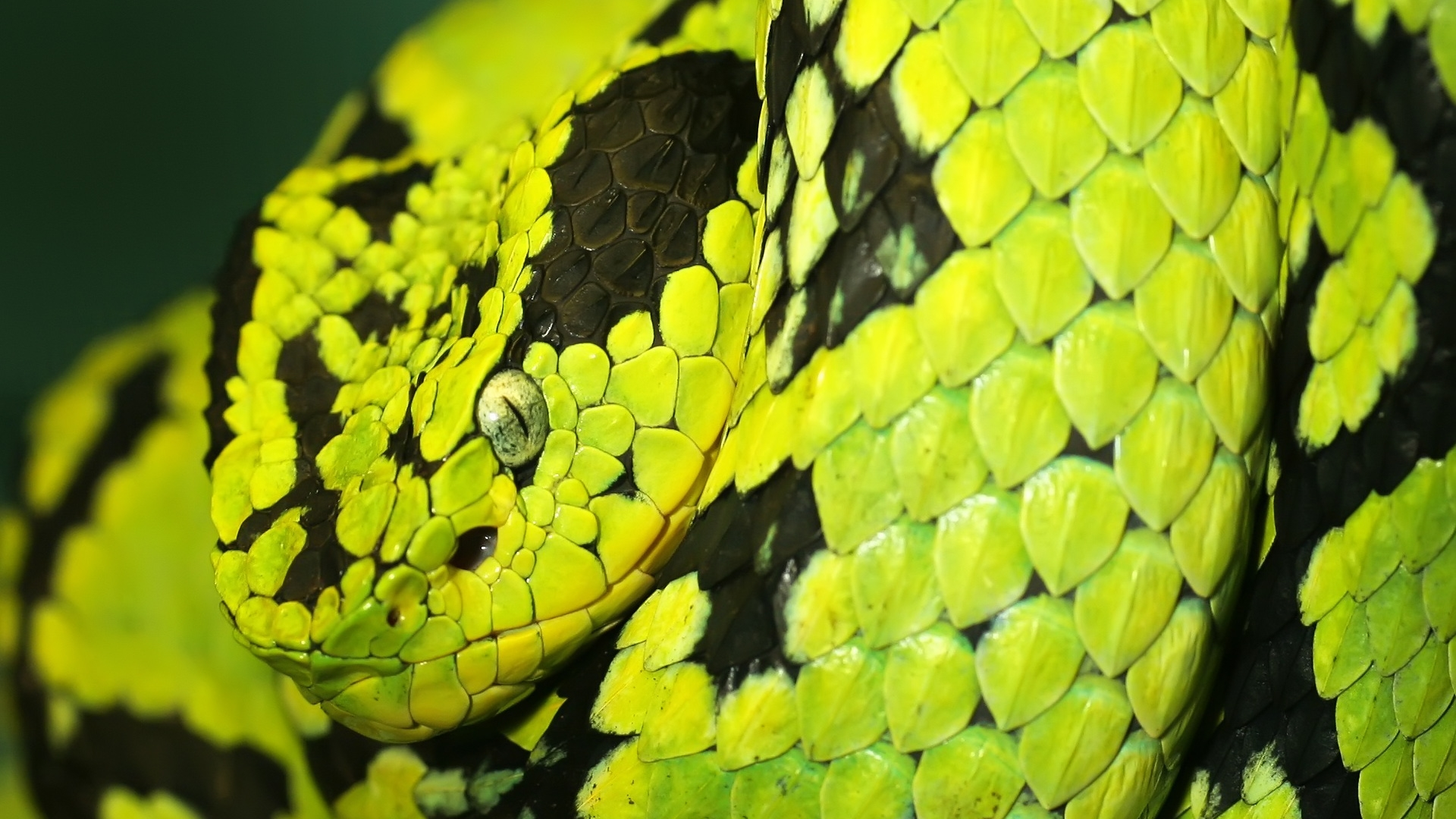 Green and black snake high definition wallpapers hd - Green snake hd wallpaper ...