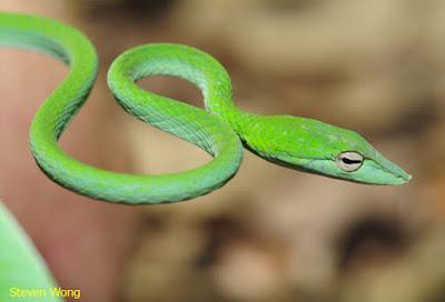 ular hijau pemakan burung, ular hijau raksasa, ular rumput hijau, ular hijau sumatera, ular hijau sawah, ular sanca hijau, ular sawa hijau, ular sanca hijau (morelia viridis), ular sendok hijau, ular sisik hijau