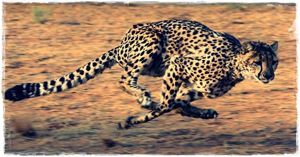 Ciri-Ciri Cheetah (Citah Hewan Tercepat Di Dunia)