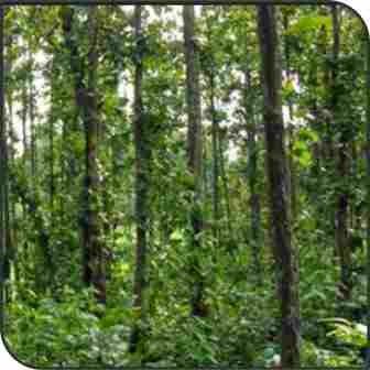 साल वृक्ष (Shorea Robusta)