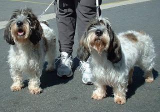 Petit Basset Griffon Vendeen-dogs-pets-dog breeds