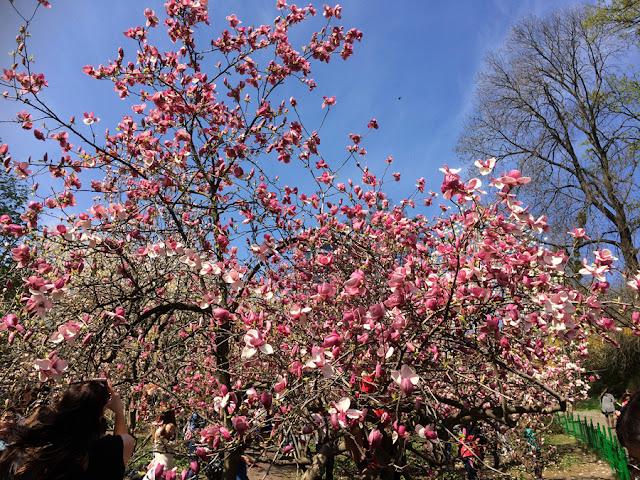 цветёт магнолия