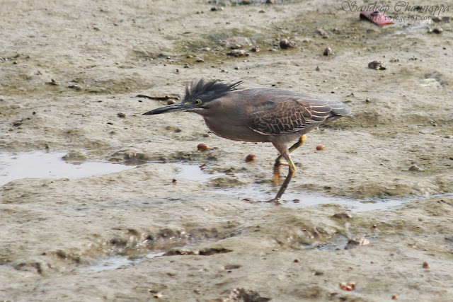 Striated Heron - Sewri
