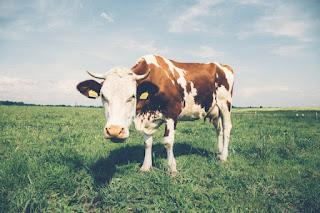 Une vache dans le pré
