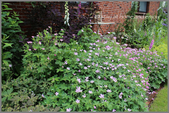 Geranium im vorderen Garten - stay at home and enjoy