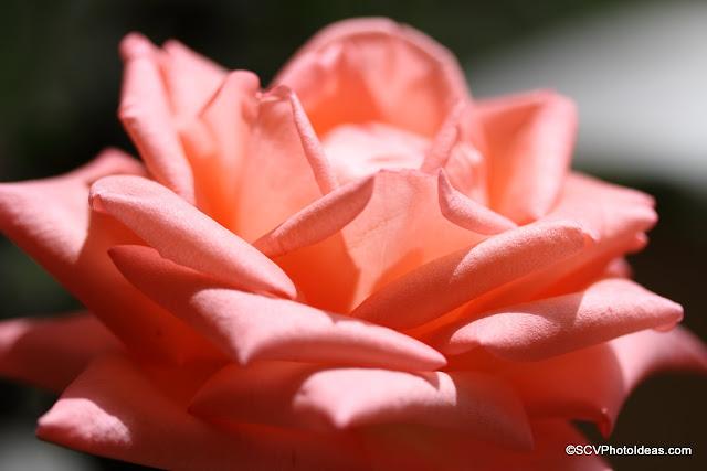Sun lighted rose II