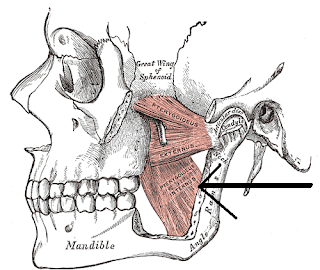 pterygoids muscle, anatomy, muscle picture