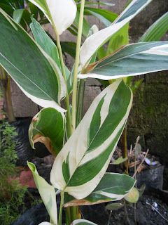 tropical plant with thin, green and white leaves