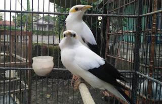 Cara Menjodohkan Burung Jalak Putih