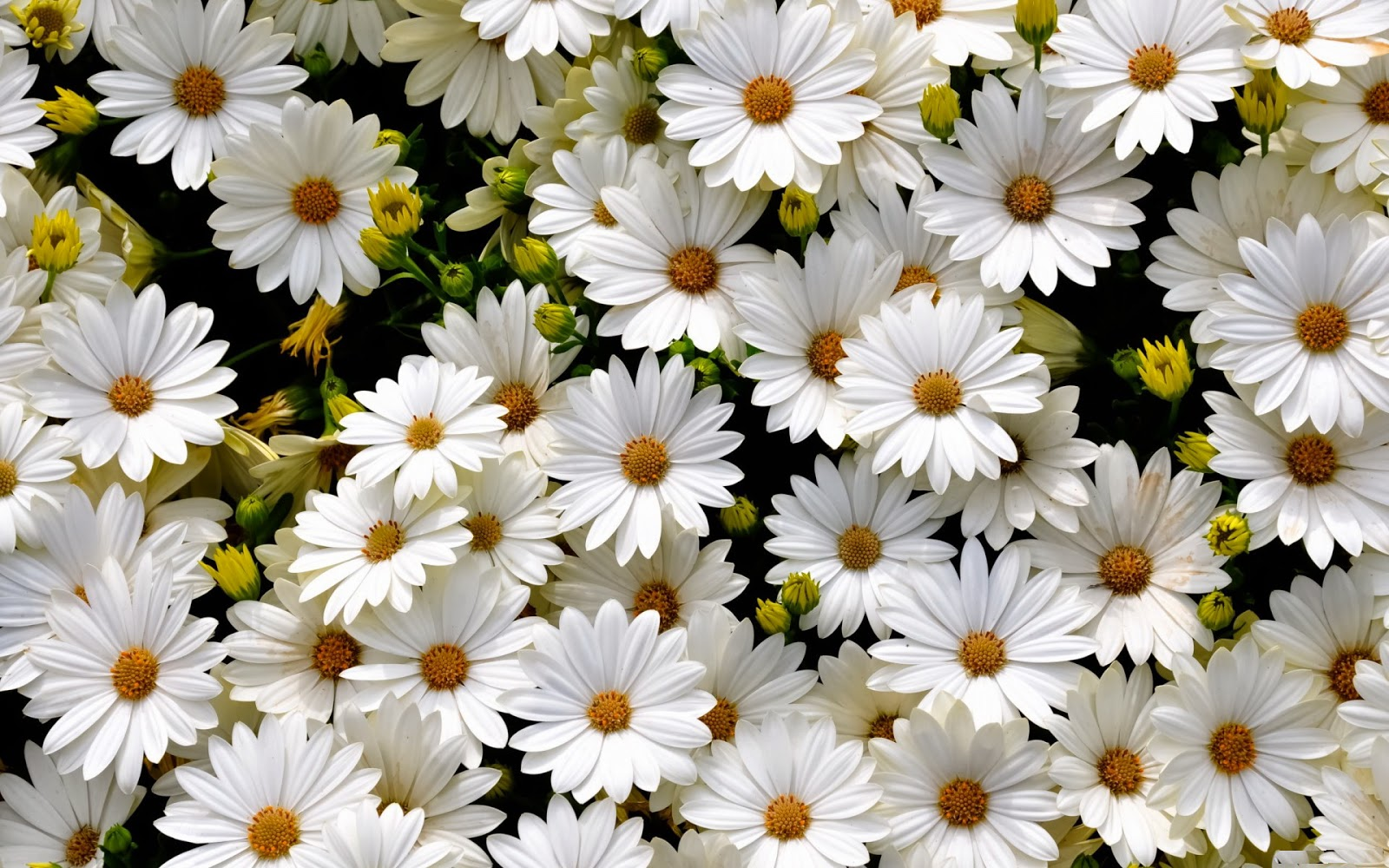 daisies flowers  flower, Beautiful flower