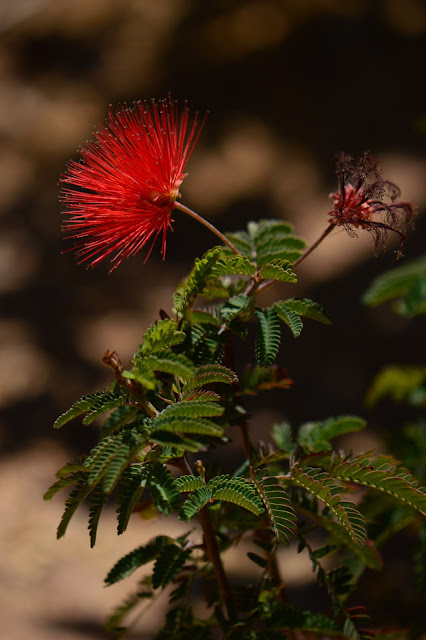 calliandra californica, baja red, fairyduster, amy myers, small sunny garden, desert garden,