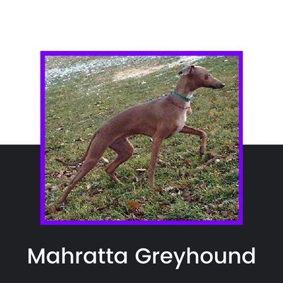 Mahratta Greyhound Dog