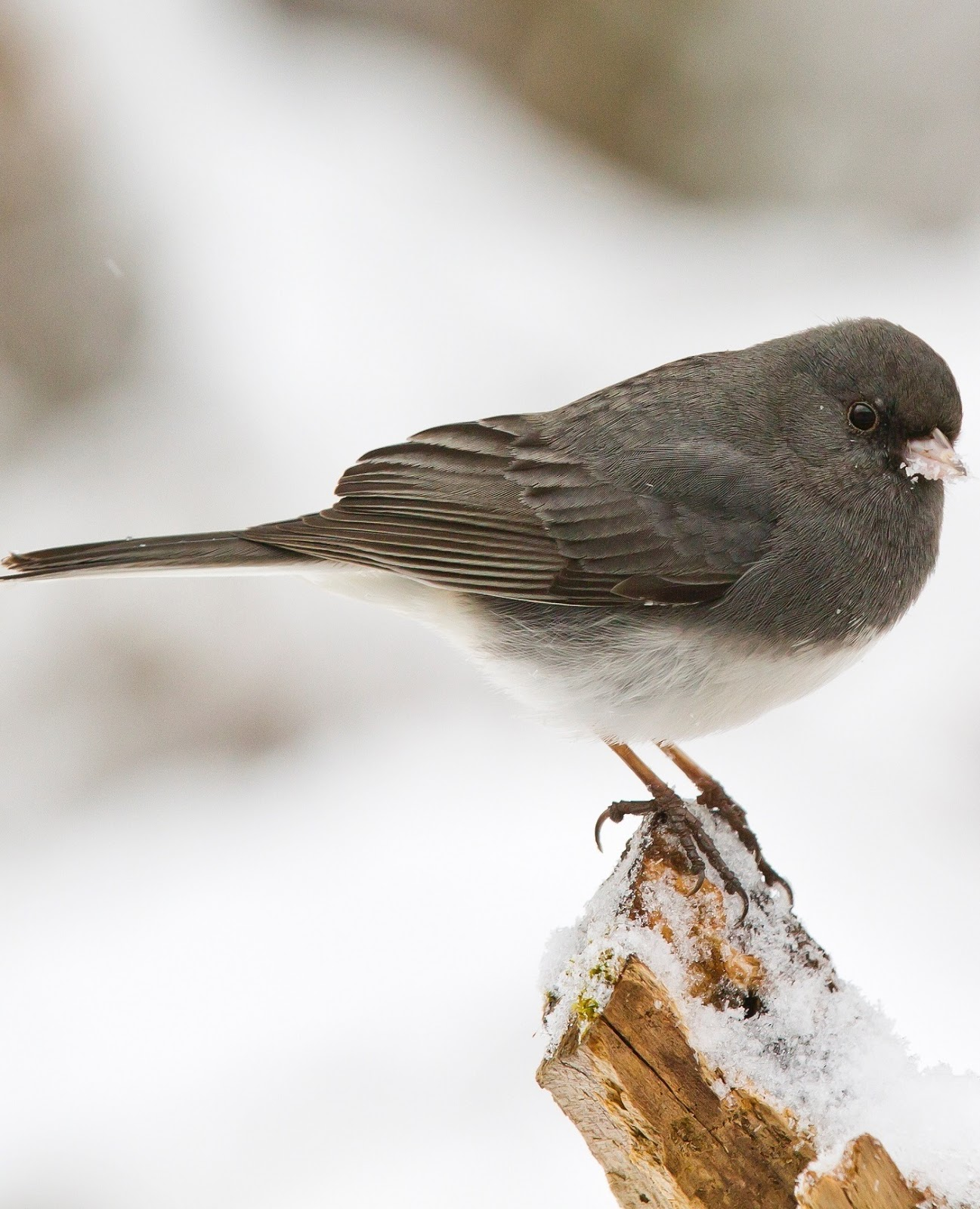 Picture of a junco bird.