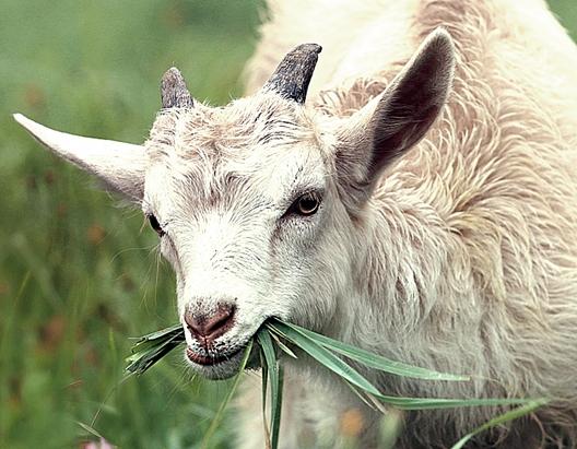 Ciri-ciri kambing