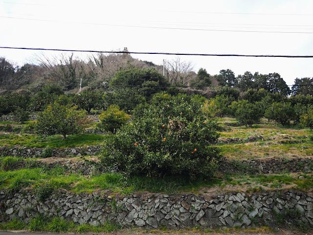 ミカン畑の斜面