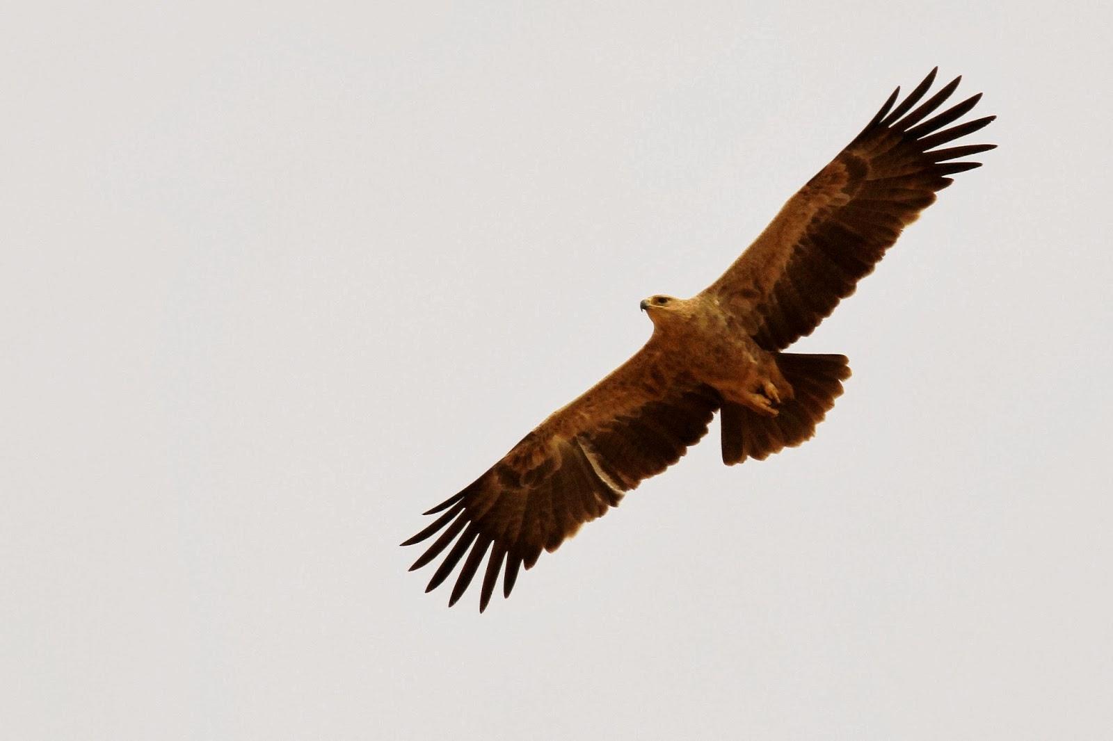 26, un aigle ravisseur  l ultime  aquila  du Sahel     ORNITHONDAR ... d2c562457b3
