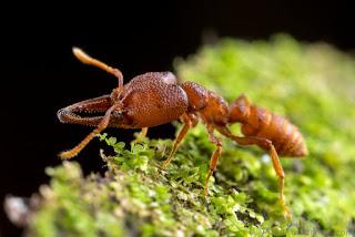Semut Drakula , Hewan dengan pergerakan mulut tercepat didunia