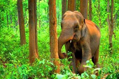 Asian Elephant of Assam, Assam elephant