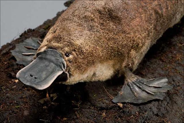 platypus hewan berang berang yang mirip dengan bebek