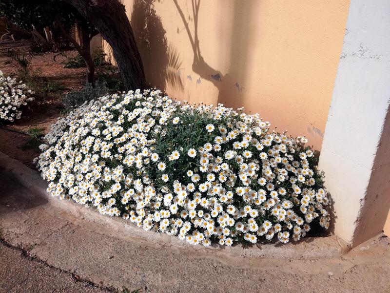 Margherite in fiore a Maiorca