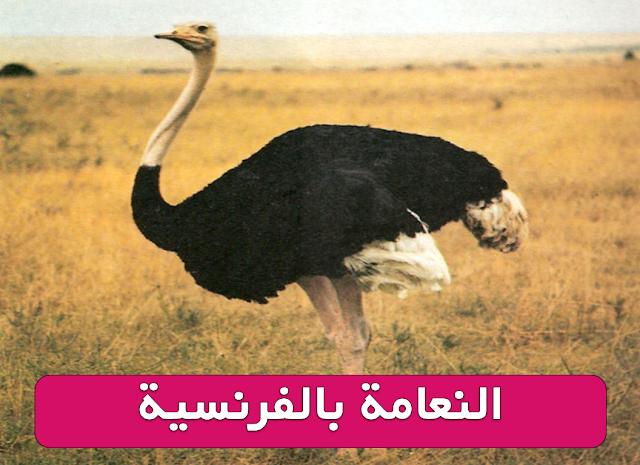النعامة بالفرنسية مع معلومات قصيرة عن هذا الطائر