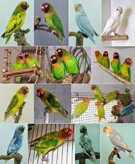 Jenis Lovebrid - Lovebrid Kacamata Pipi Hitam (Agapornis Nigrigenis) - Penangkaran Burung Lovebrid