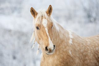 Palomino Horse With a plaited mane, standing in the snow in his field.