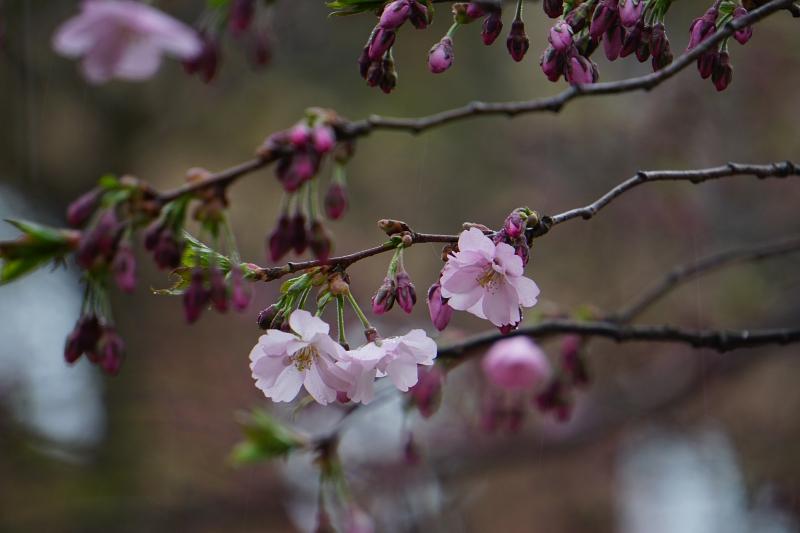 hanami, kirsikkapuu, kirsikankukka