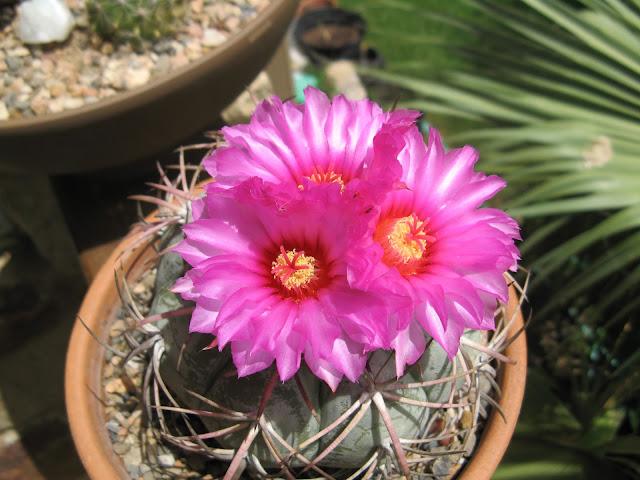 pink cactus bloom